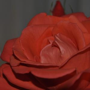 Red Rose, Rote Rose, Rosenfoto