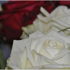 white rose, vanentine, webcard